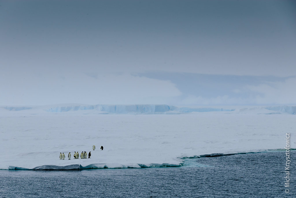 Emperor Penguins on sea ice