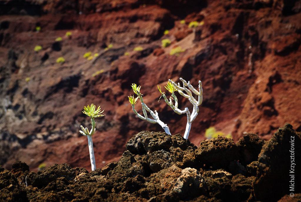 El Hierro - local flora