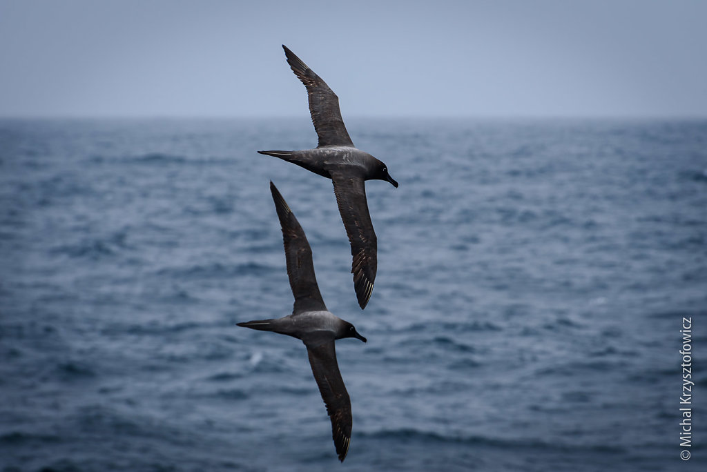 A pair of Sooty Albatrosses