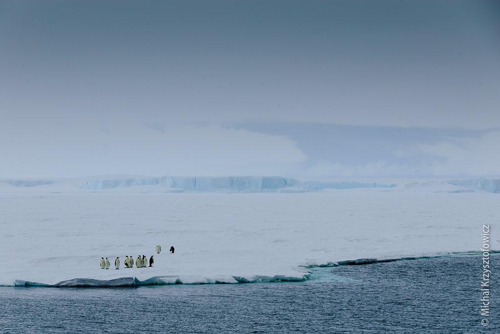 Emperor Penguins on sea ice