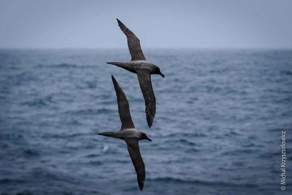 A pair of Sooty Albatrosses