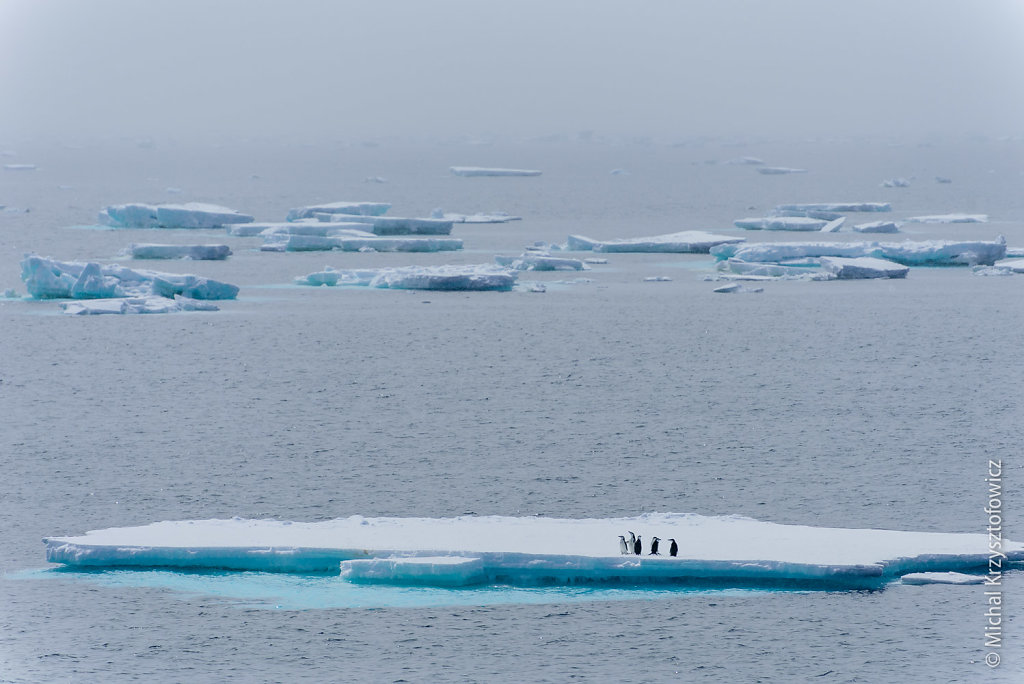 Chinstrap penguins on an ice floe